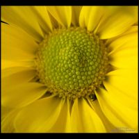 Yellow Daisy II by GMCPhotographics
