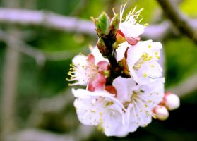 The apricot bloomed by Raenm