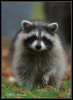 Raccoon 2 by Ptimac