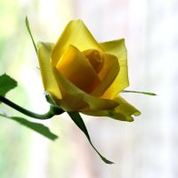 Yellow Rose 05 by s-kmp