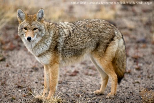 The Overly Friendly Coyote by Iamidaho