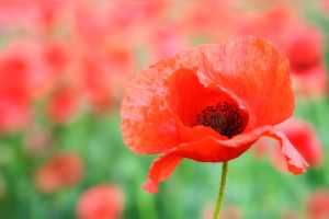 just another poppy picture by st3rn1