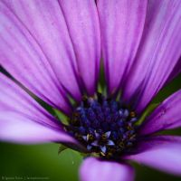 Purple flower by isotophoto