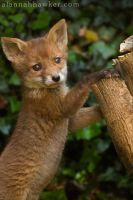Fox Cub 07 by Alannah-Hawker