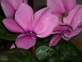 pink_flower by PoisonousCaramel