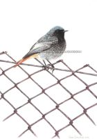 Black Redstart by makangeni