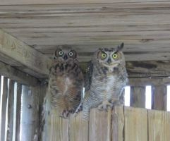 Great Horned Owls 2 by Windthin