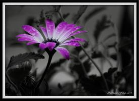 Purple Daisy by flowersteph