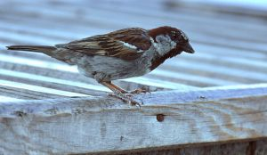 Sparrow by NatalieCartman