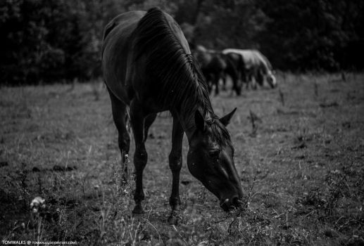 Black Horse by TomWalks