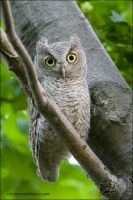 Eastern Screech Owlet by gregster09