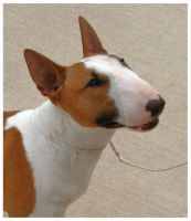 The bull terrier look by Bunnybunbunbunee