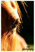 Sunlit equine eye by TlCphotography730