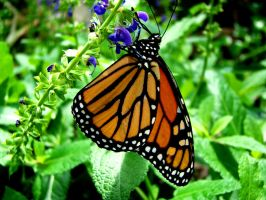 Up-Side-Down Monarch Butterfly by Astridyl