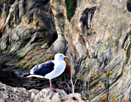 Seagull by the Cliffs by happytimer