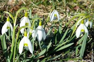 Snowdrops by peterkopher