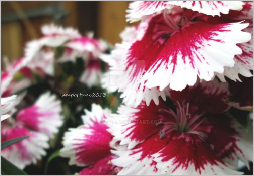 Dianthus Flowers by sintar