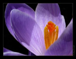 Crocus in Focus by WaitingForTheWorms