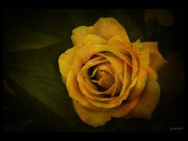 Vintage Rose by caithness155