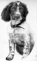 Pepper - Springer Pup by Fullmetal-puppy