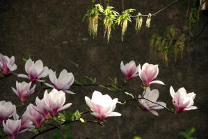 Magnolia flowers by Shreever