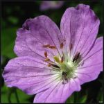 Wild Geranium with Flies by Coatlique