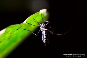 Mosquito Under the Leaf by vhive