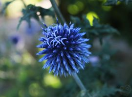 The Supernova of Echinops ritro by Heart-Luck