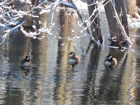 Geese on a creek by moonlghtknt