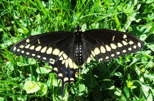 Swallowtail by AppleBlossomGirl