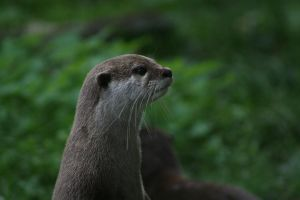 Otter by Gothic-Enchantress