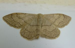Riband Wave Moth at Front Door by SrTw