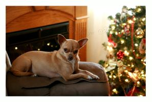 The Christmas Chihuahua by Elvandia