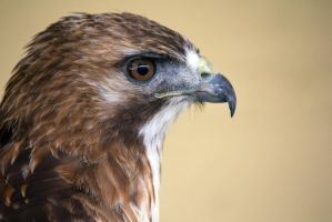 Female buzzard by Steve-FraserUK