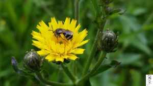 G5s Magnifier Dandelion  Bee by The-Dude-L-Bug