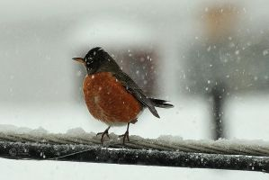 American Robin. Miss you. by PdaMai