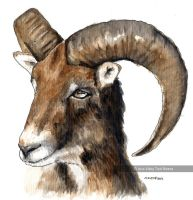 Mouflon HEAD by VickyTico