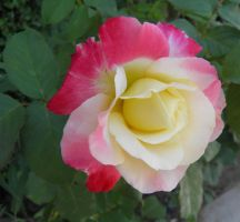 yellow and red rose by bwall49
