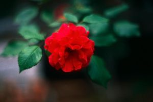 Red Rose at f1.4 by EJordanPhoto