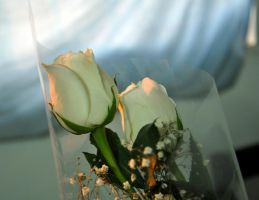 White roses stock III by StarsColdNight