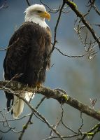 Bald Eagle for print by swashbuckler