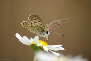 Butterfly.1 by shimahi