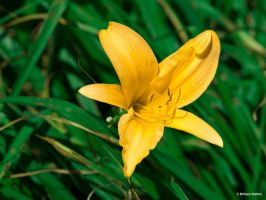 Yellow Lily by BeBeWalt
