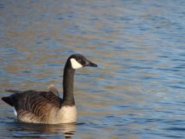 Canadian Geese by Dreamweaver38