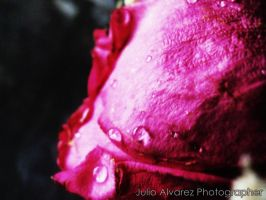 Rose crying by juliuske