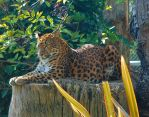 Northern Chinese Leopard by clareanco