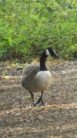 Xmas Canada Goose for drantyno by Dan-S-T