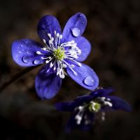 Blue anemone by Gizmotb