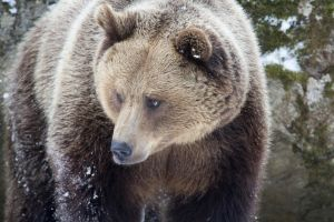 Beautiful Brown Bear by AngelaLouwe