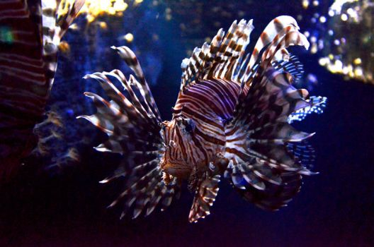 Lionfish / Rotfeuerfisch by tunne